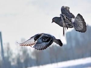 Dos palomas volando