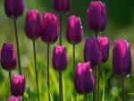 Tulipanes iluminados por el sol