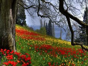 Colina cubierta de tulipanes rojos y amarillos