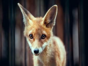 La mirada de un pequeño zorro
