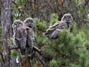 Jóvenes búhos posados en un pino