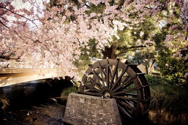 Rueda de agua bajo un cerezo en flor