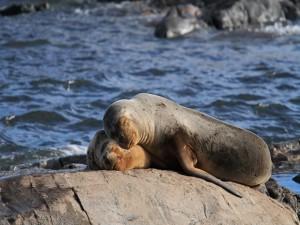 Pareja de leones marinos durmiendo sobre una roca