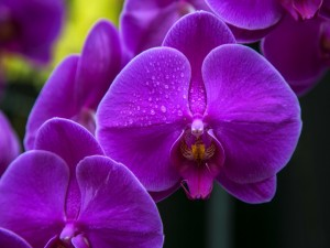 Orquídeas púrpuras con gotas de rocío