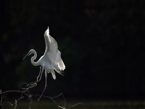 Garza blanca sobre una rama