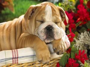 Perro durmiendo en una cesta junto a unas flores
