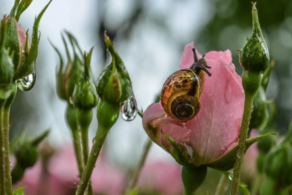 Caracol en una rosa mojada