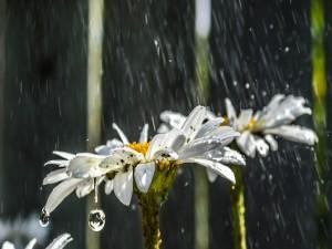 Margaritas bajo la lluvia