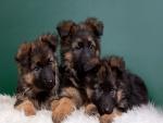 Tres cachorros sentados en una alfombra blanca
