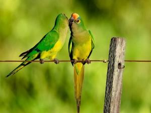 Beso entre loros posados en un alambre