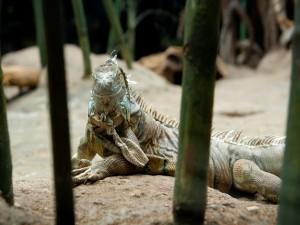 Una iguana descansando