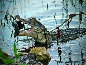 Pez en la boca de un cocodrilo