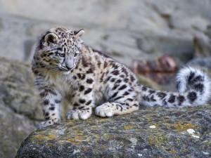 Pequeño leopardo de las nieves sobre una roca