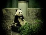 Panda gigante con una rama de bambú