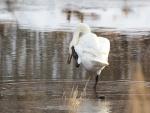 Cisne rascándose el cuello con una pata