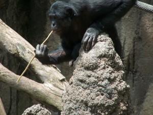 Bonobo con una rama en la boca