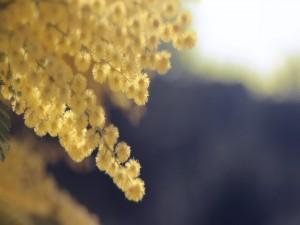 Mimosas en unas ramas