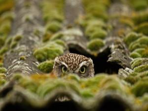 Búho escondido en un tejado