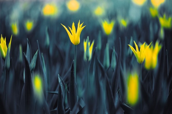 Tulipanes amarillos con los pétalos abiertos