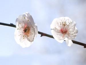 Dos flores blancas en una rama