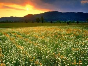 Sol iluminando un campo de flores al amanecer