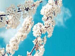 Ramas cubiertas de flores blancas en primavera