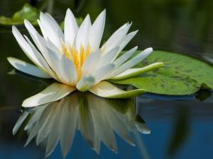 Lirio reflejado en el agua