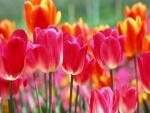 Tulipanes rosas y naranjas en un jardín