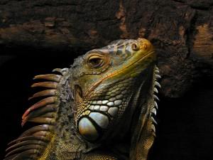 Cabeza de una iguana