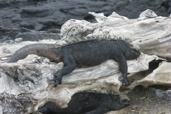Grandes iguanas tumbadas