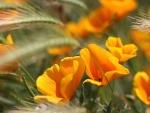 Flores entre espigas de trigo
