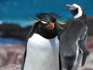 Pingüino de penacho amarillo