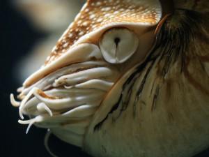 Un nautilo (Nautilus pompilius)