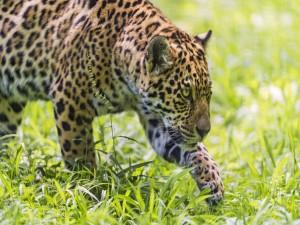 Jaguar acechando en la maleza para cazar a su presa