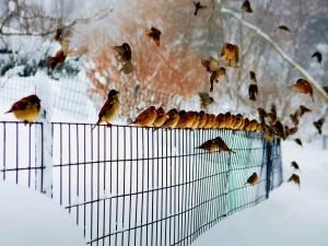 Pájaros en una cerca bajo la nieve