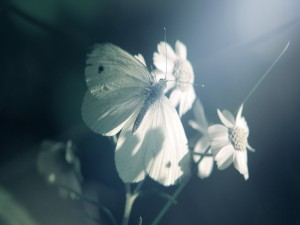 Mariposa junto a unas flores blancas