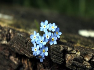 Pequeñas flores azules