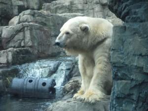 Oso polar en un zoo
