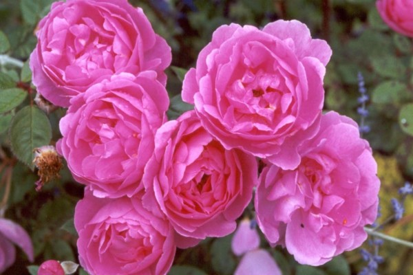 Preciosas rosas de color rosado