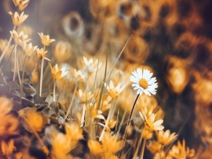 Margaritas blancas entre briznas de hierba