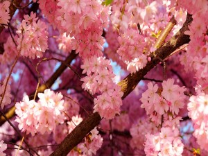 Árbol repleto de flores rosas