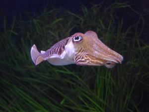 Sepia bajo el agua