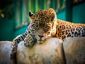 Un jaguar descansando y disfrutando de un rayo de sol