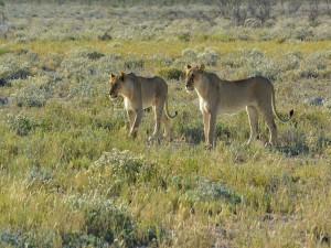 Dos leonas en busca de presas