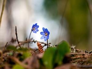 Dos flores azules creciendo en un bosque