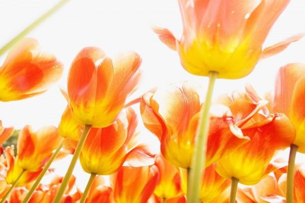 Unos tulipanes anaranjados