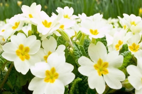 Flores blancas con el centro amarillo