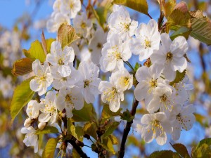 Flores blancas en las ramas de un árbol frutal