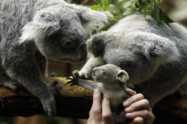 Pequeño koala que no quiere separarse de su familia