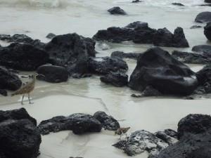 Aves caminando entre las rocas de una playa